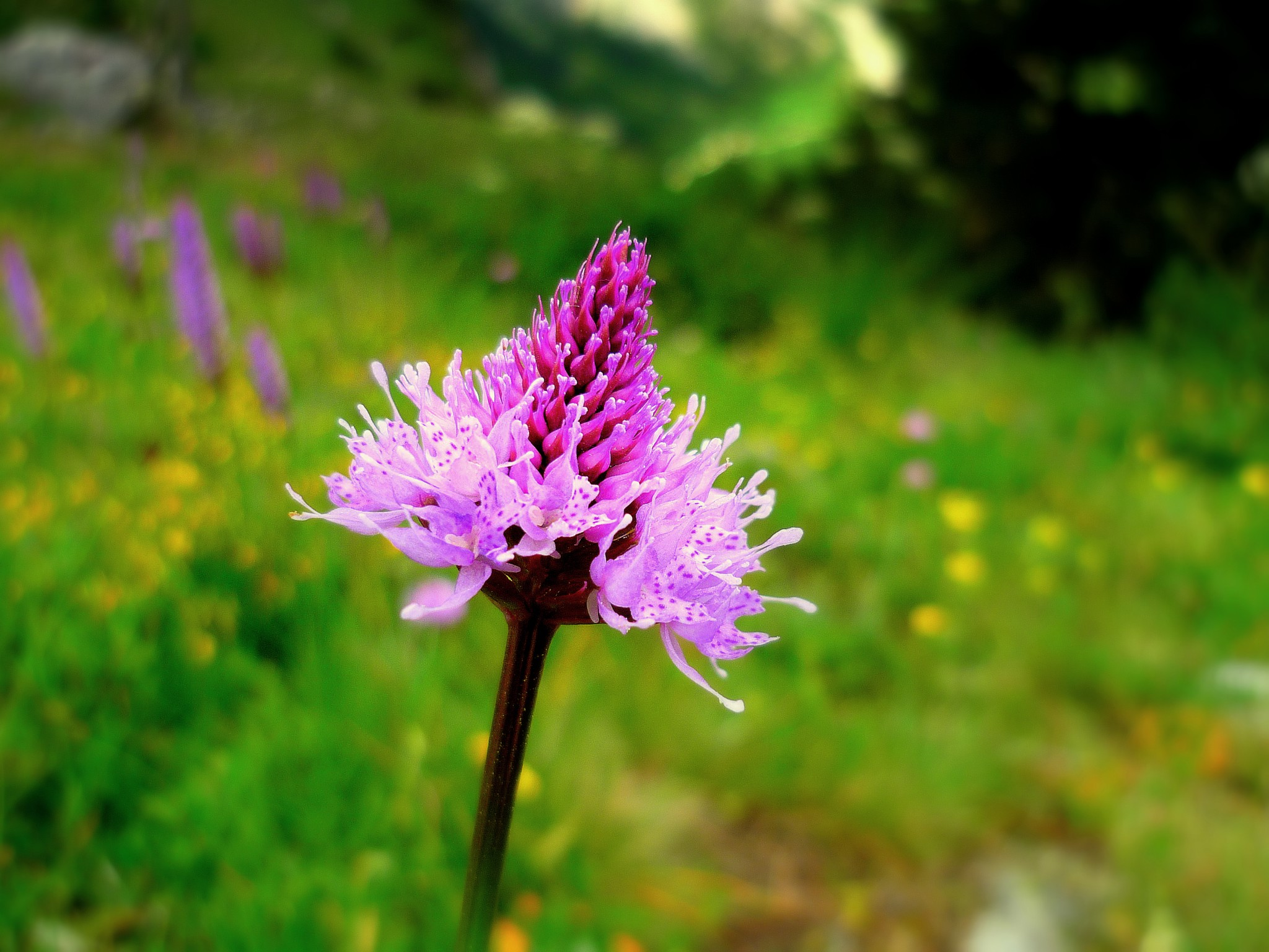Flora of the French Alps in Vanoise - Fleurs de la Vanoise - French Moments