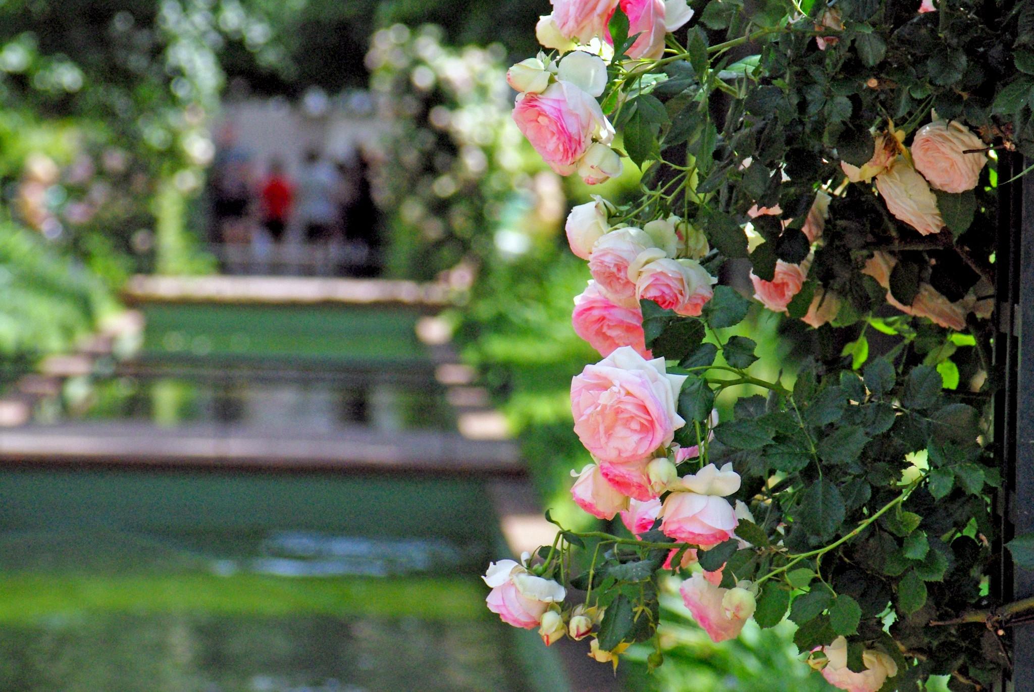 Promenade Plantée - Roses on the Coulée Verte René-Dumont © French Moments