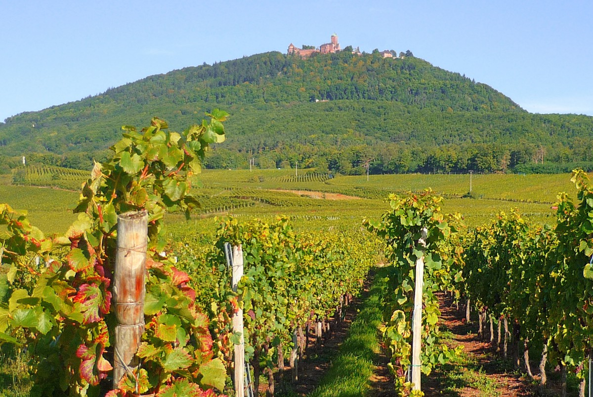 castles of France: The Haut-Kœnigsbourg castle seen from the vineyard © French Moments