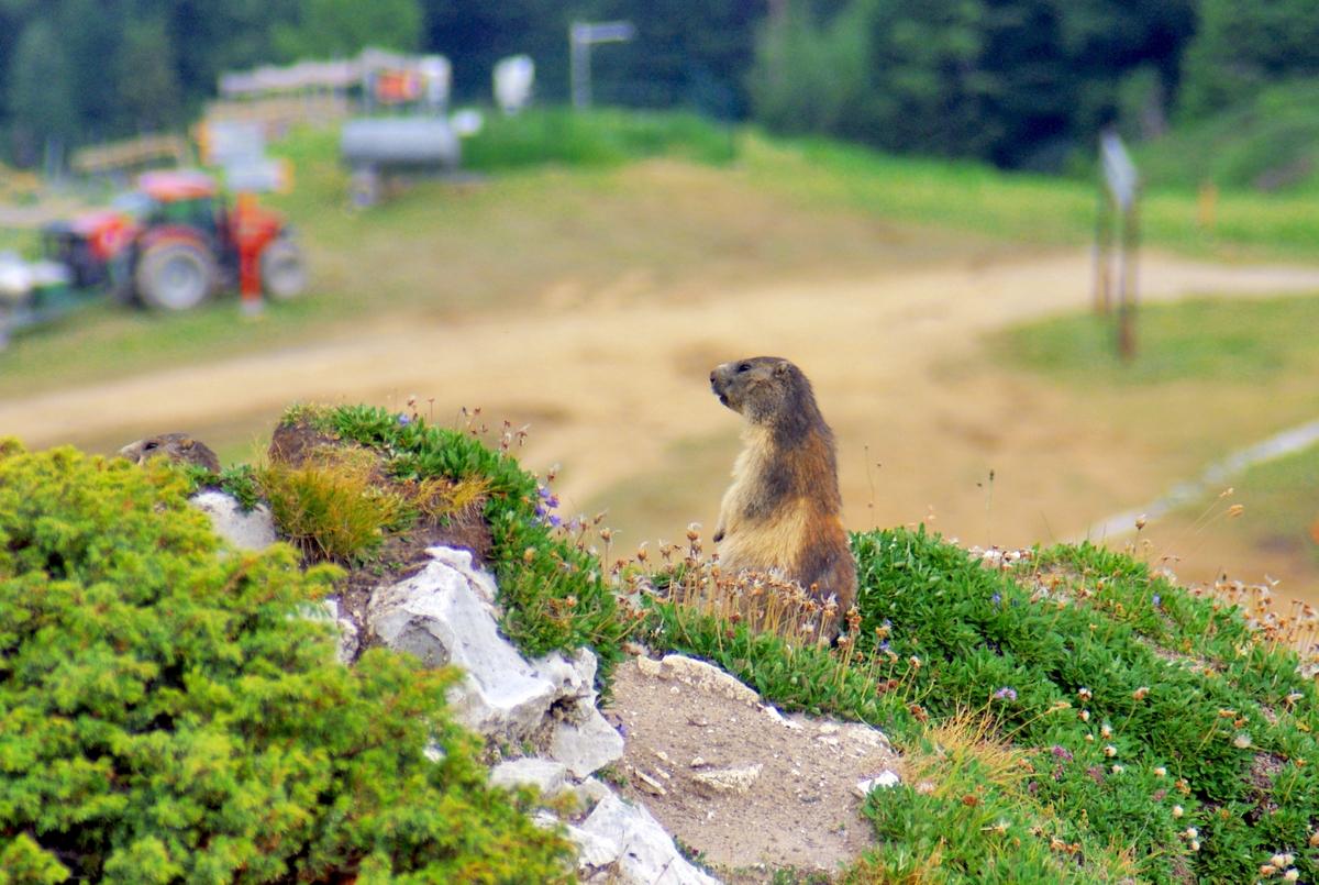 A marmot at La Plagne © French moments