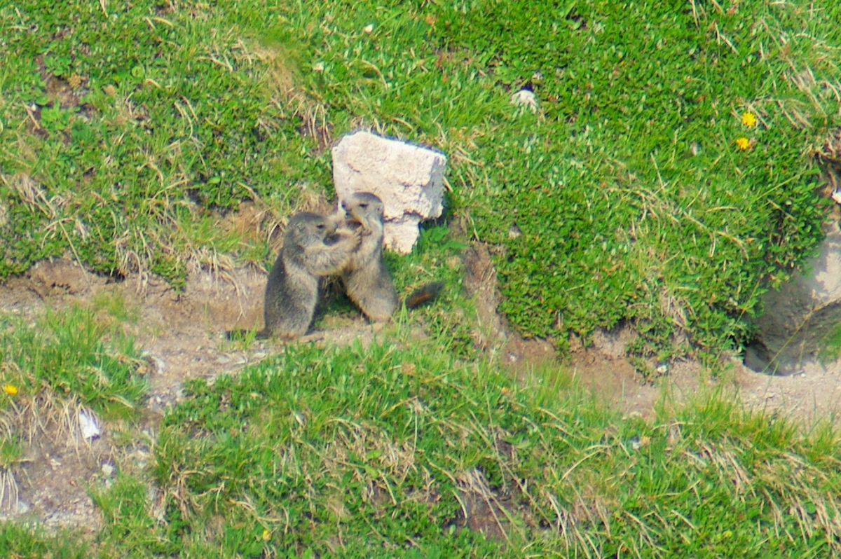 Little marmots playing © French Moments