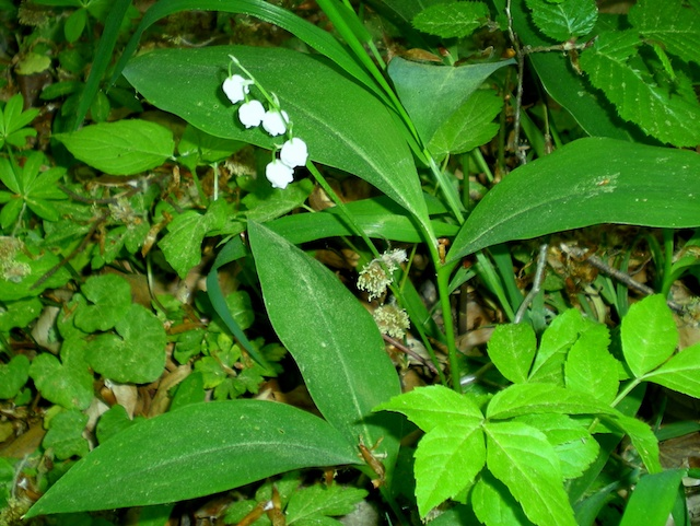 May Day in France - Lily of the valley (muguet) © French Moments