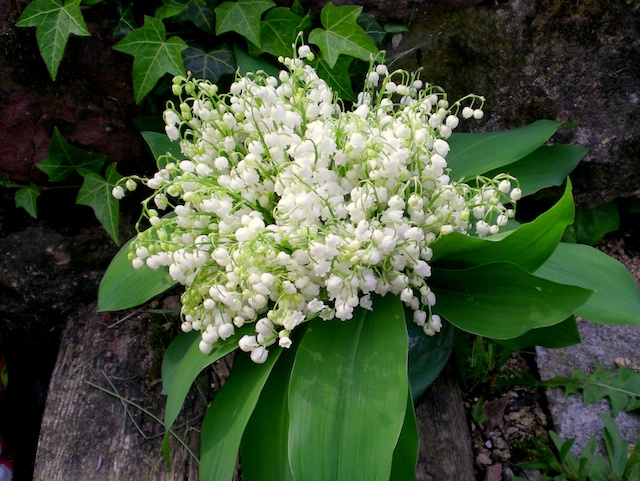 Lily of the valley (muguet) in a French forest © French Moments