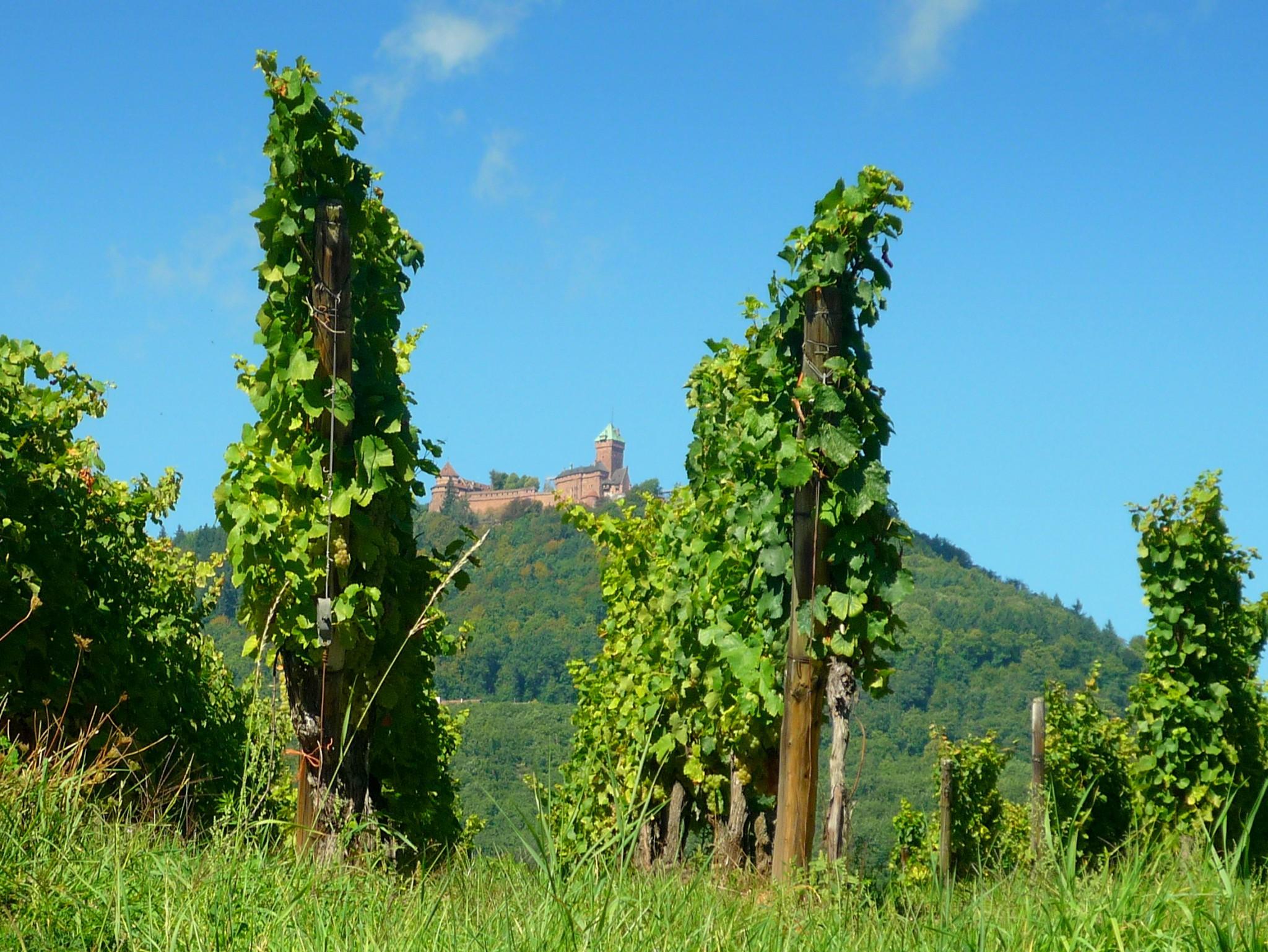Alsace Wine Route - Haut-Kœnigsbourg © French Moments