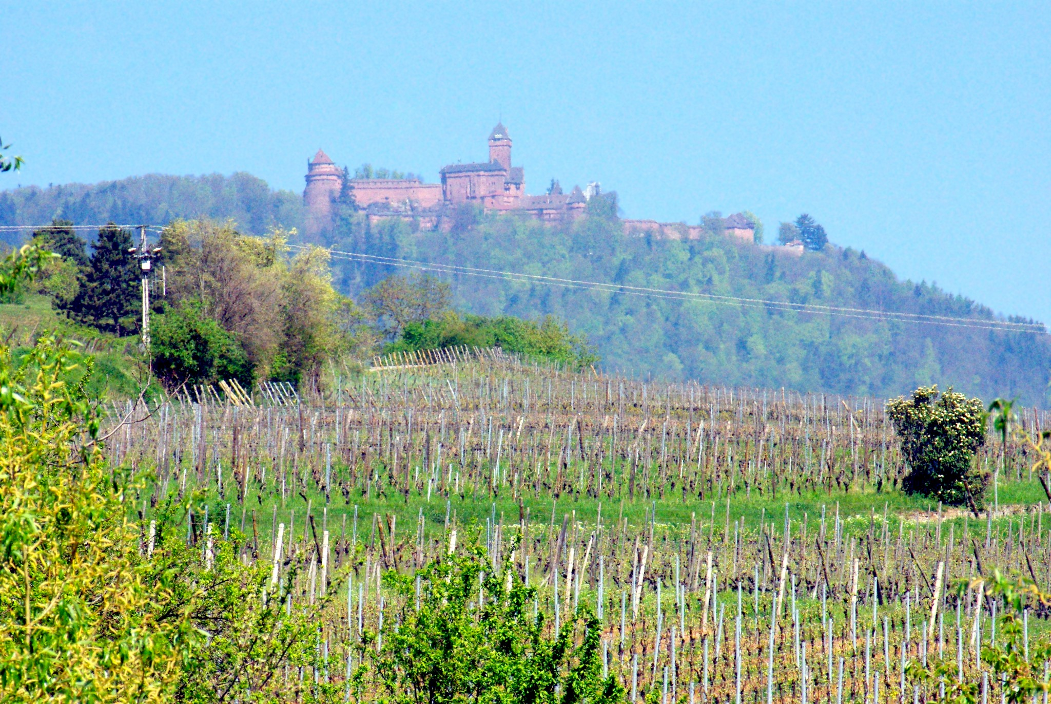 The Haut-Kœnigsbourg Castle seen from the vineyards of Bergheim © French Moments