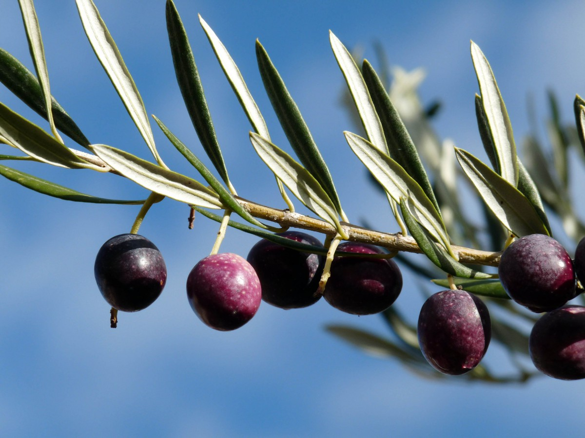 Olives in Provence - Stock Photos from Sylvie Lebchek - Shutterstock