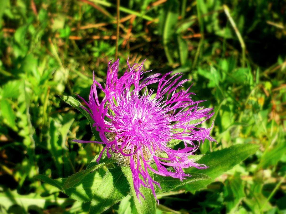 Perennial Cornflower © French Moments