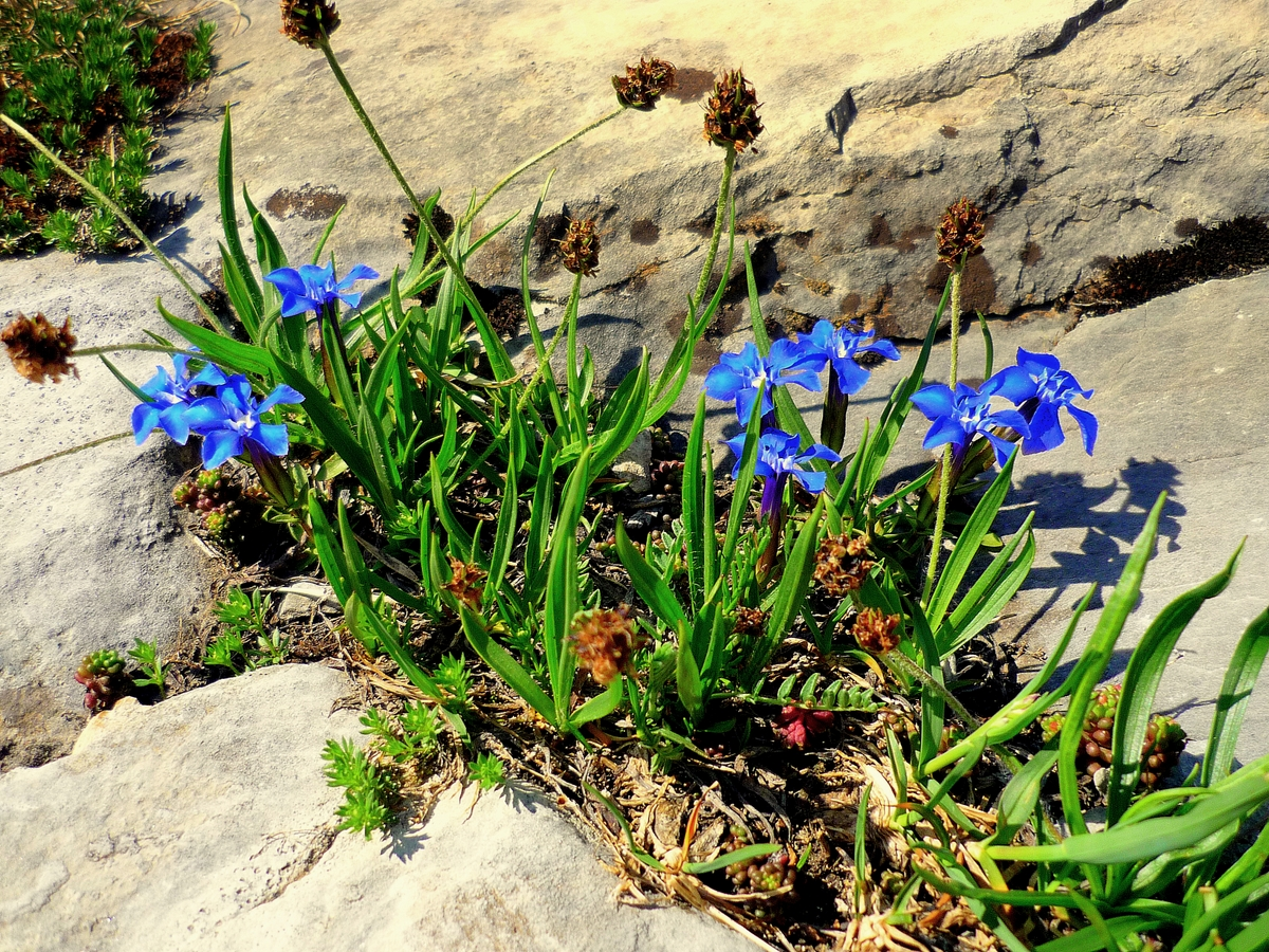 Snow gentian © French Moments