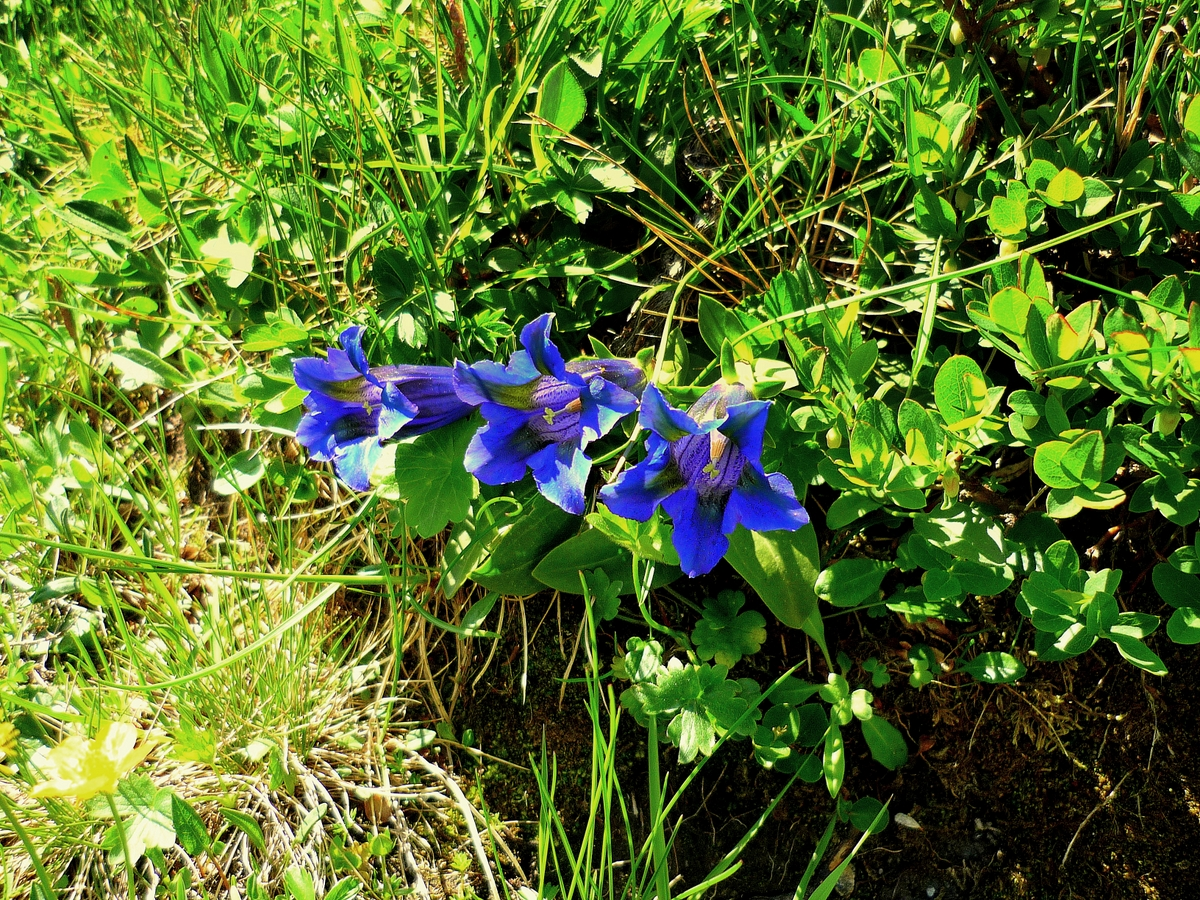 Stemless gentian © French Moments