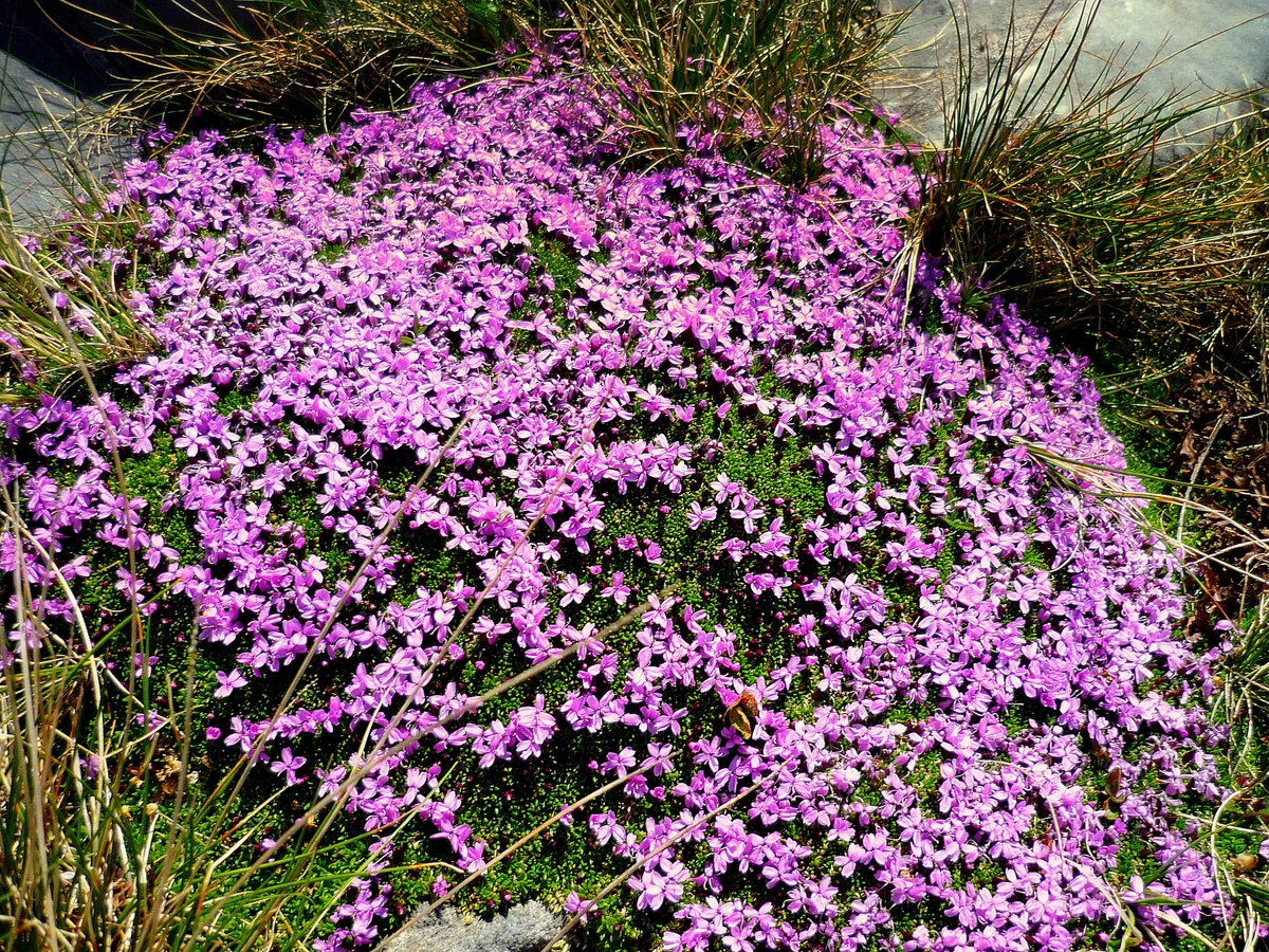 Moss campion © French Moments