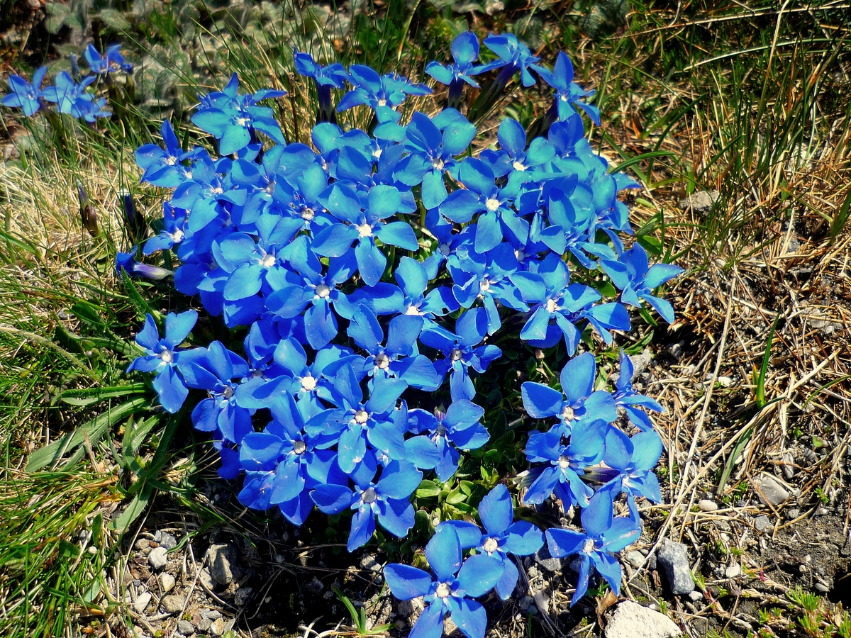 Spring gentian © French Moments