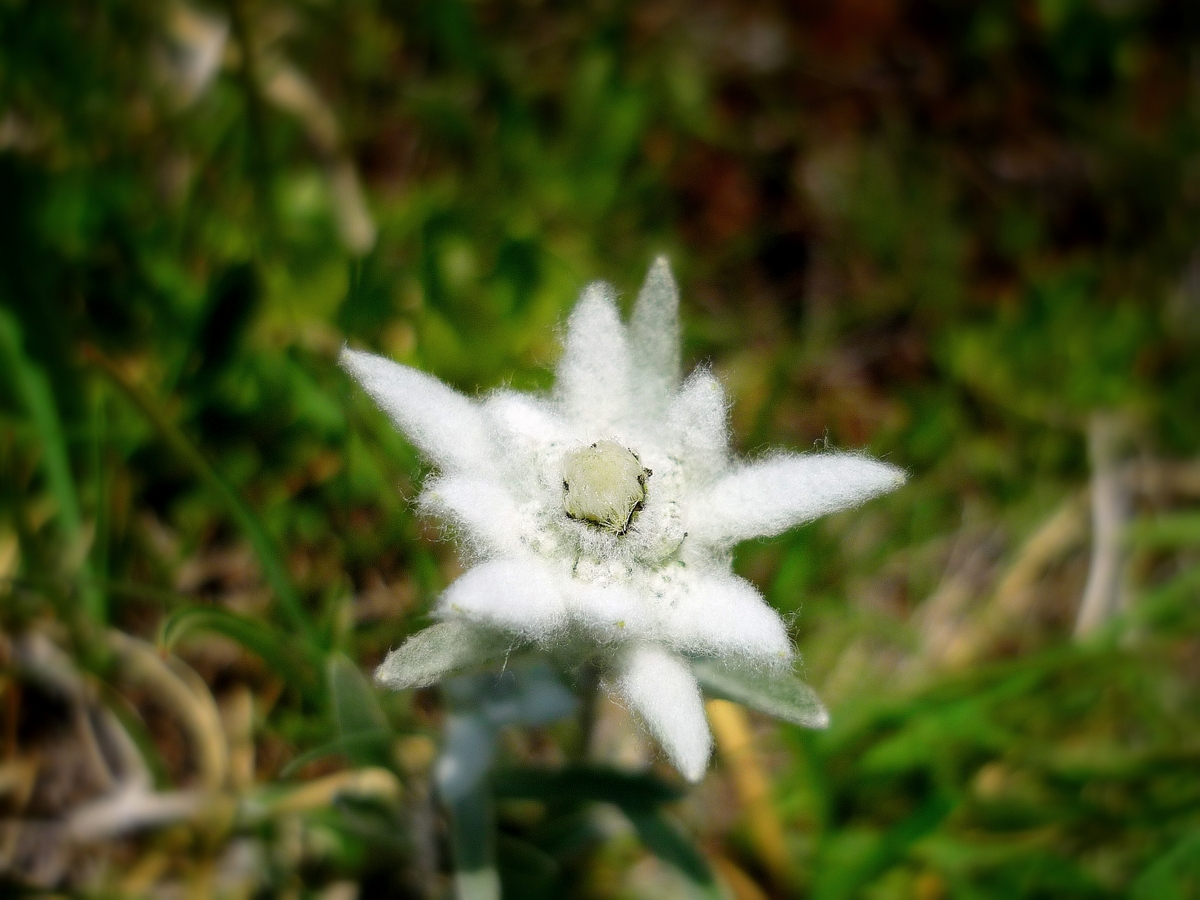 Edelweiss © French Moments