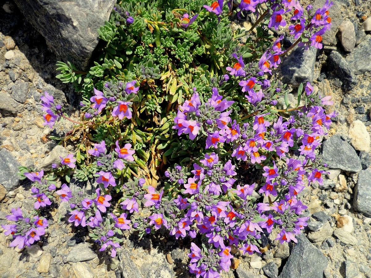 Linaria alpina © French Moments