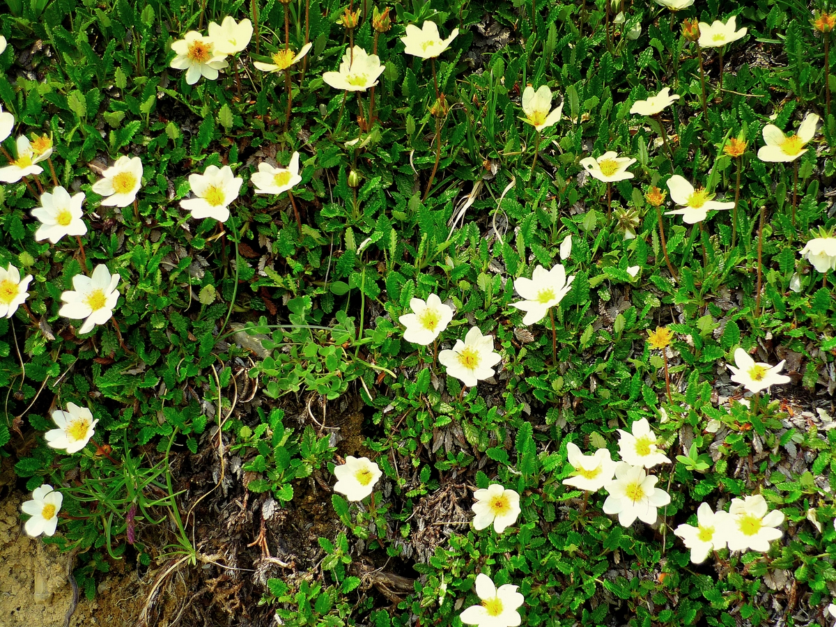 Mountain avens © French Moments