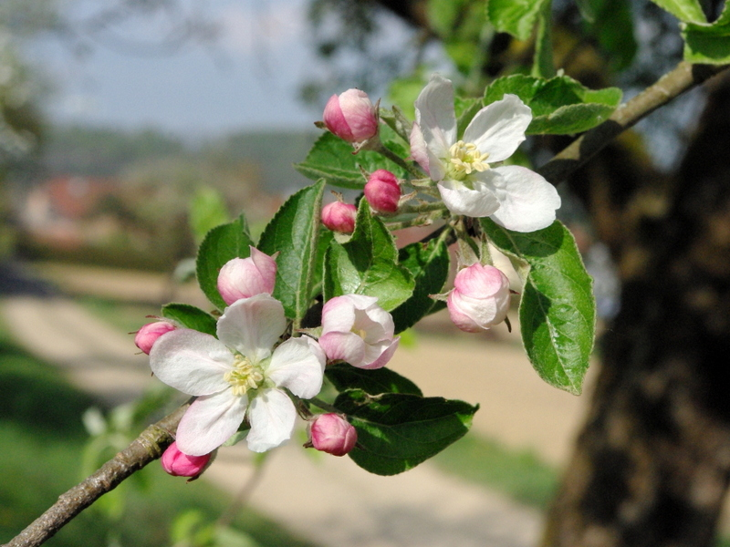 Apple Tree Flowers © French Moments