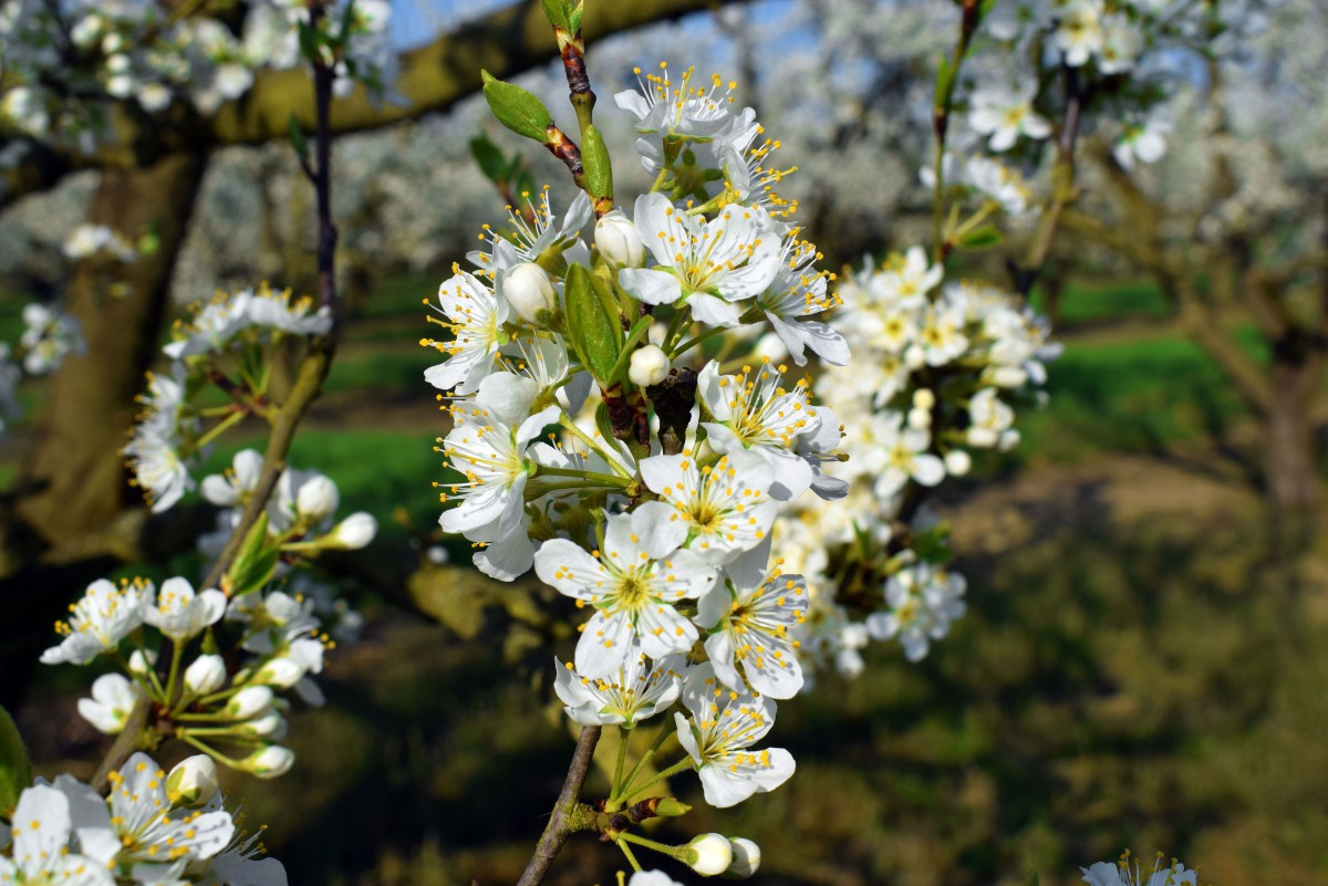 Mirabelle Tree, region of Toul, Lorraine © French Moments