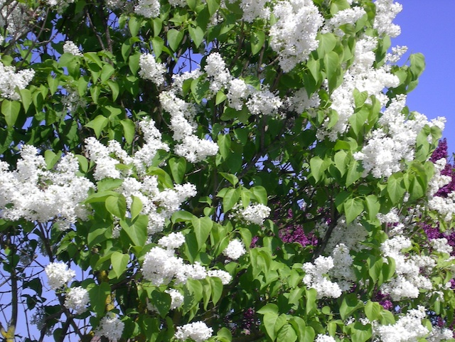 White lilac © French Moments - French Moments