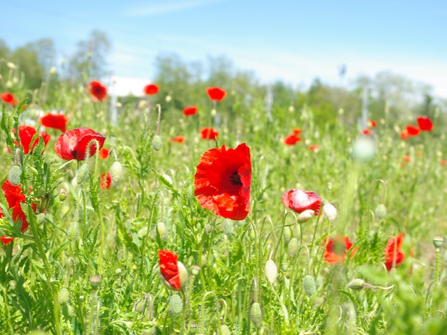 Image result for french poppies