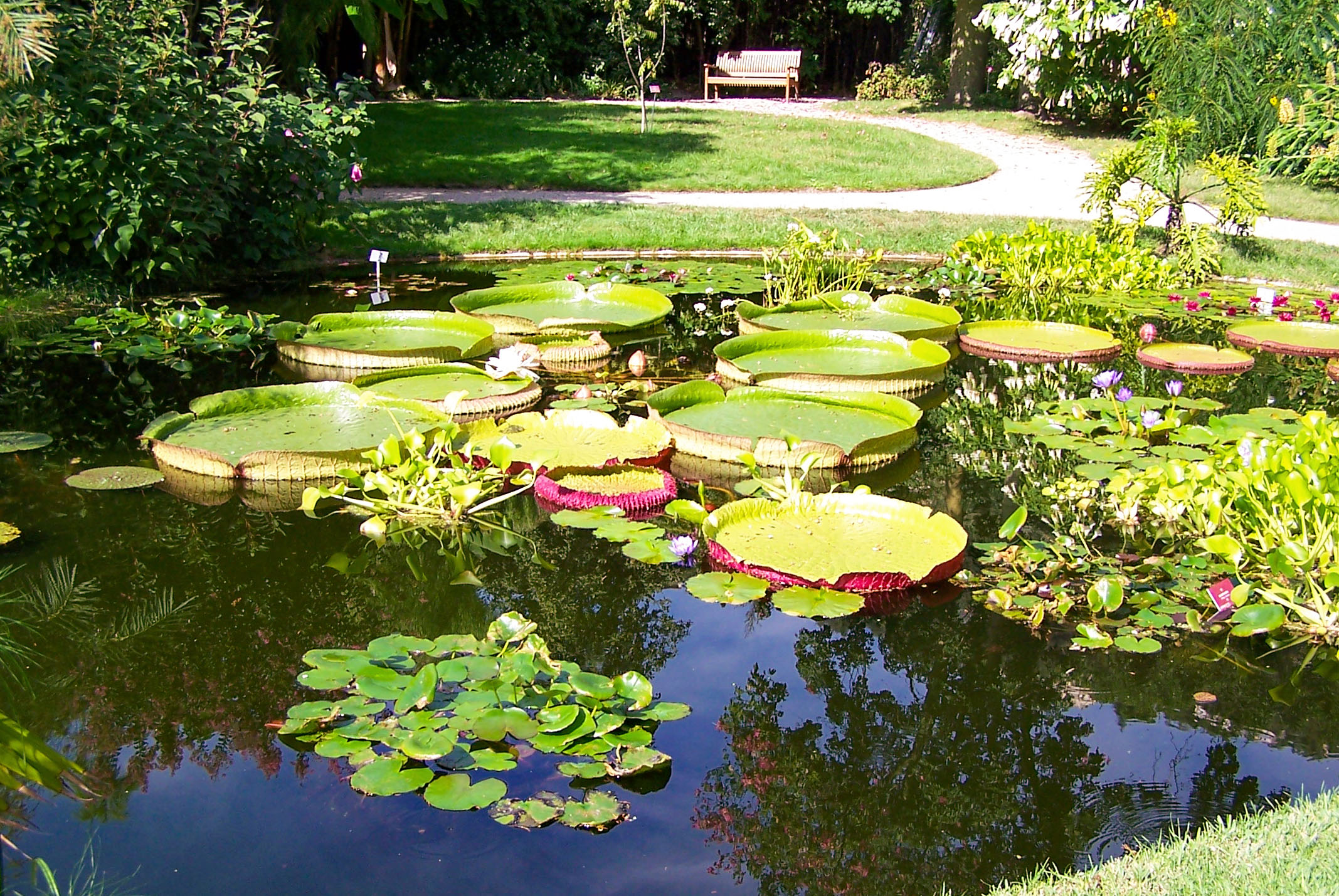 The Victoria amazonica pond, Val Rameh © Berthold Werner - licence [CC BY-SA 3.0] from Wikimedia Commons