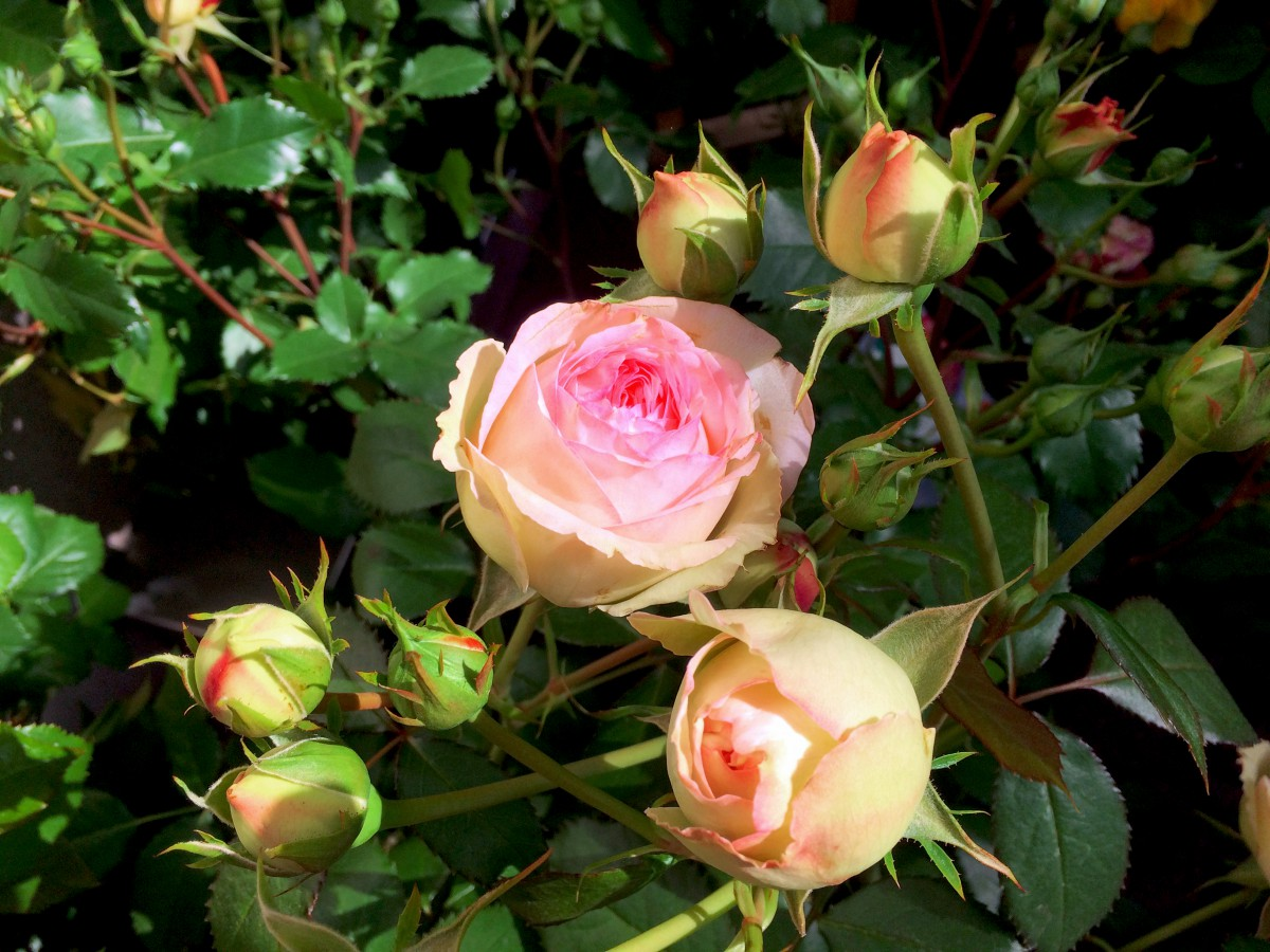 Mignonne allons voir si la rose - Pierre de Ronsard rose © French Moments