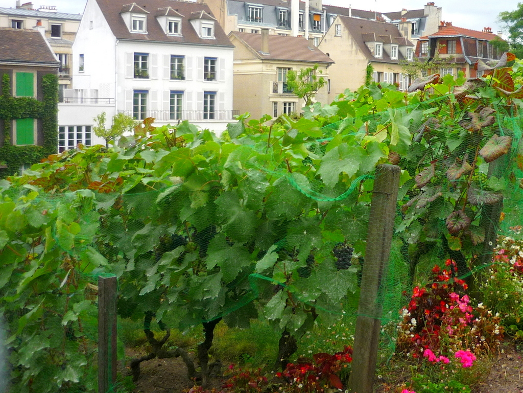 Vineyard of Montmartre in Summer © French Moments