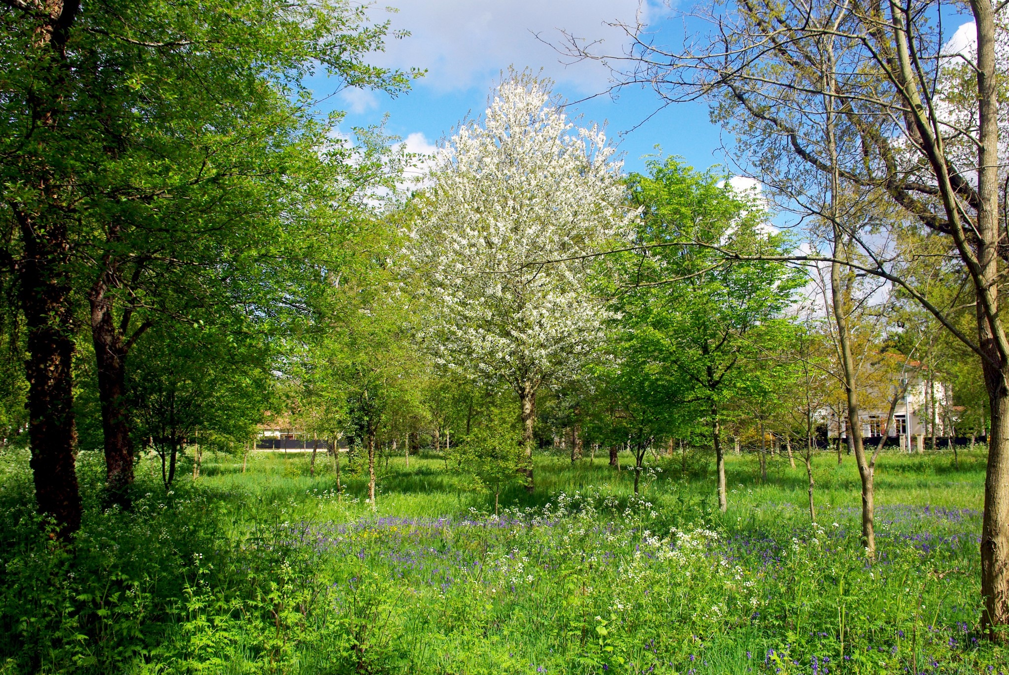 Tree in flowers in the Park of Maisons-Laffitte © French Moments