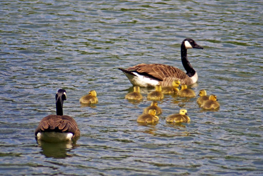 The duck family, Edmond de Rothschild Park © French Moments