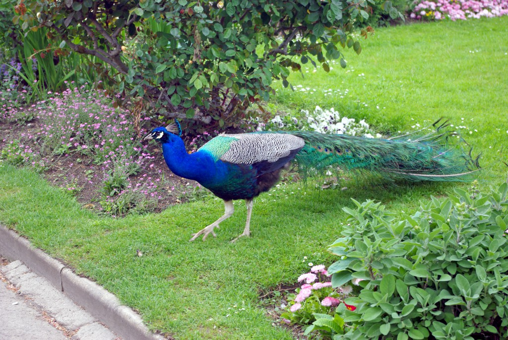 A male peacock roaming free in the park © French Moments
