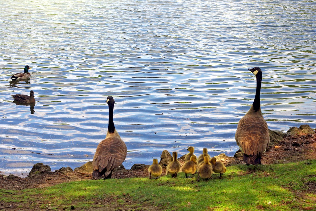 The duck family at the Edmond de Rothschild Park © French Moments
