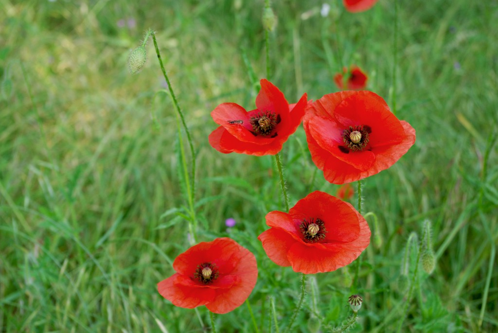 Beautiful red poppies in the Park of Maisons-Laffitte © French Moments