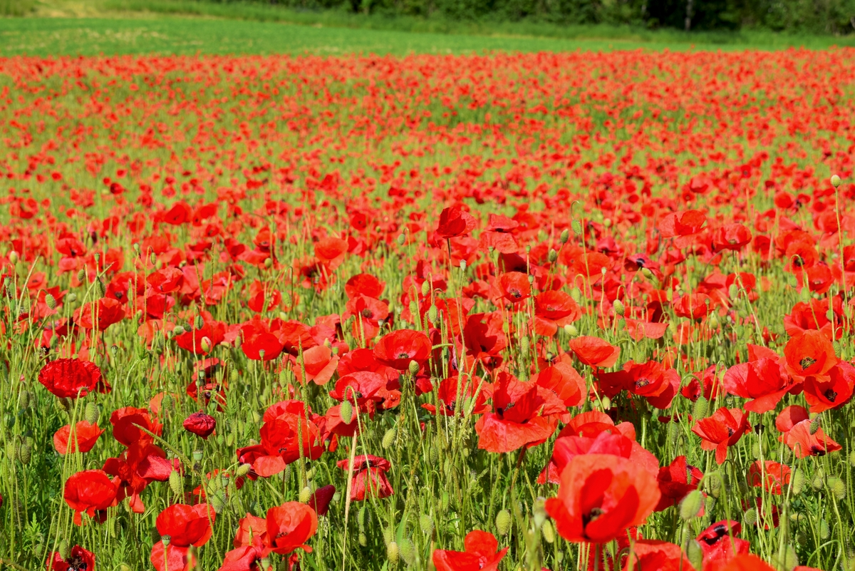 Red poppy field in Burgundy © French Moments