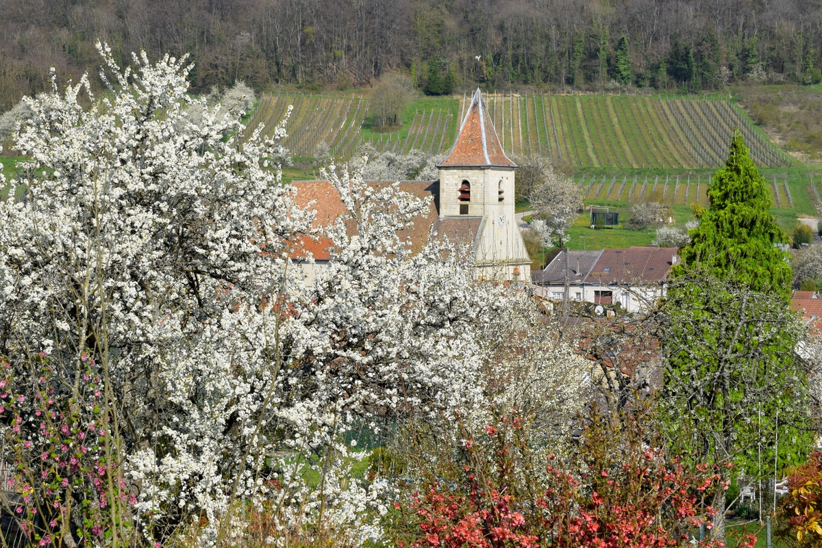 Mirabelle trees in full bloom in Lorraine © French Moments