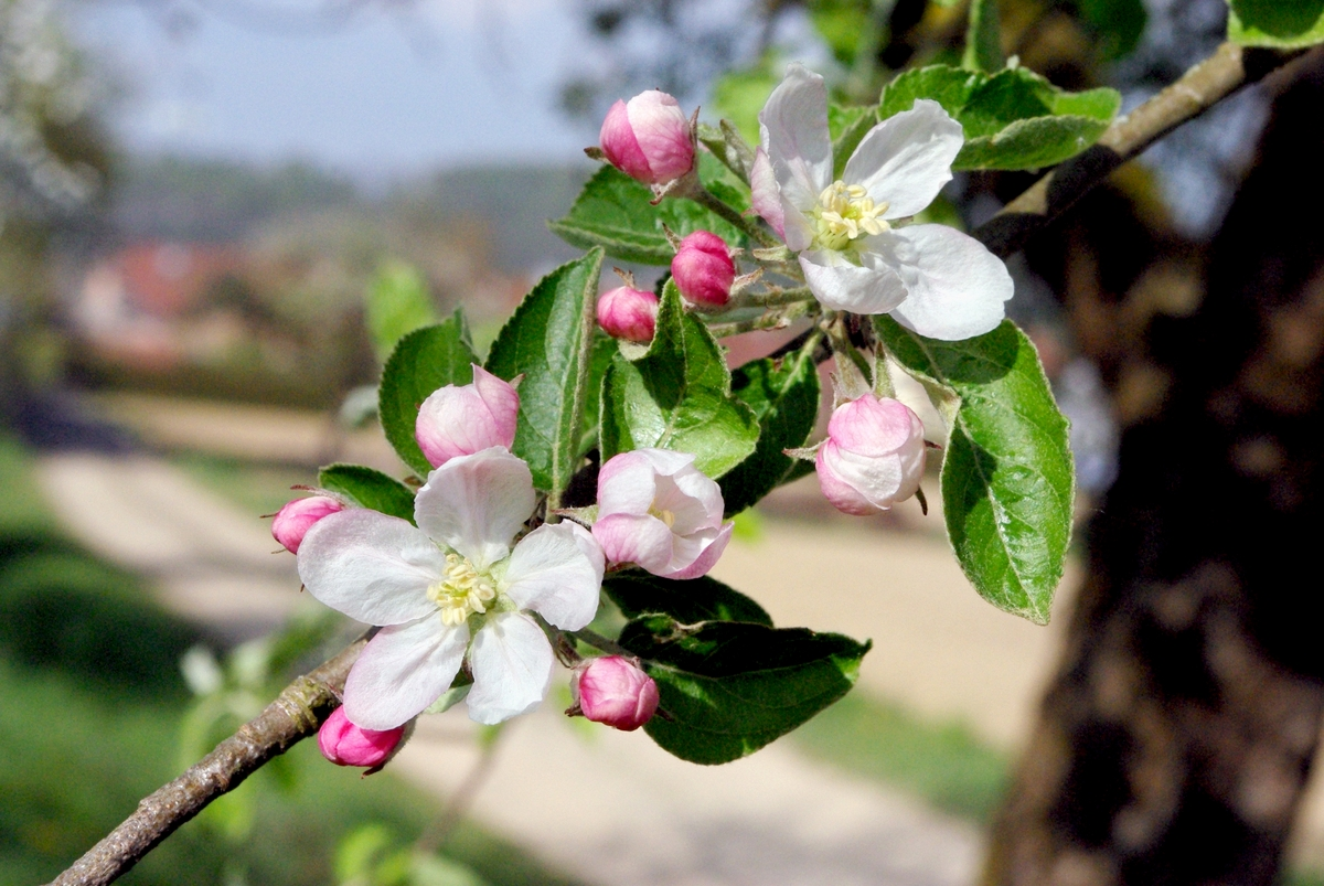 Apple tree is full bloom, Hirtzbach, Alsace © French Moments