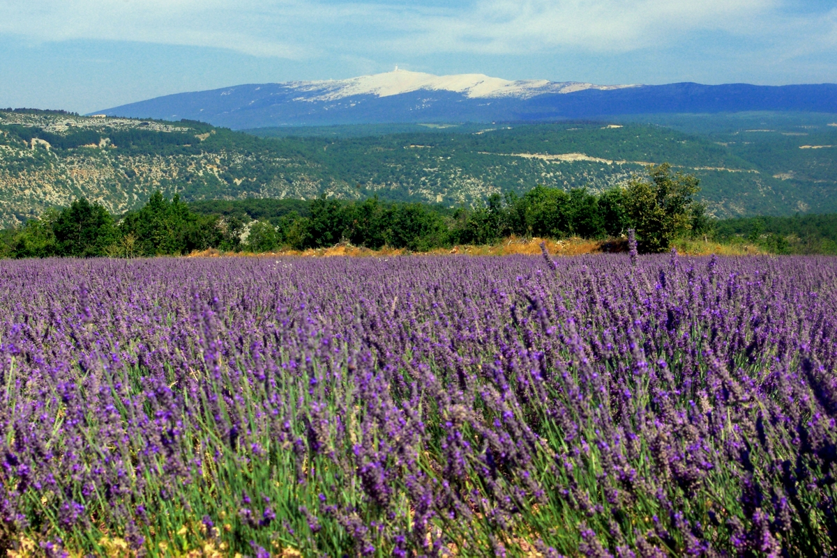French countryside: lavender fields near Sault, Provence © French Moments