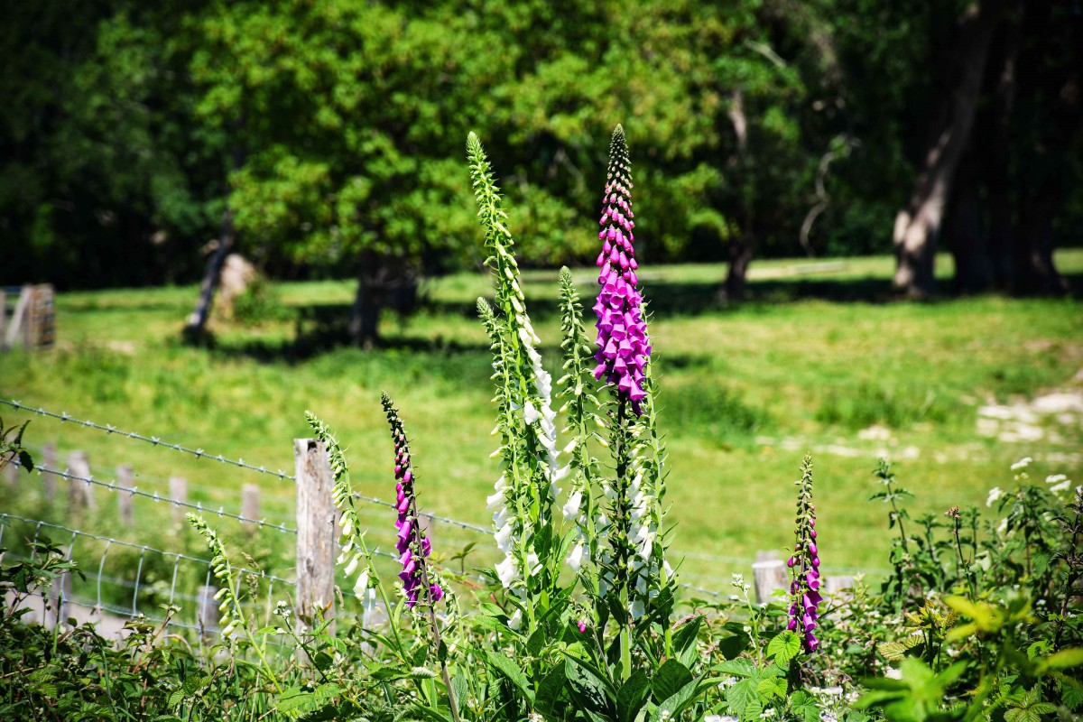 Foxgloves in the woods, Burwash East Sussex© French Moments