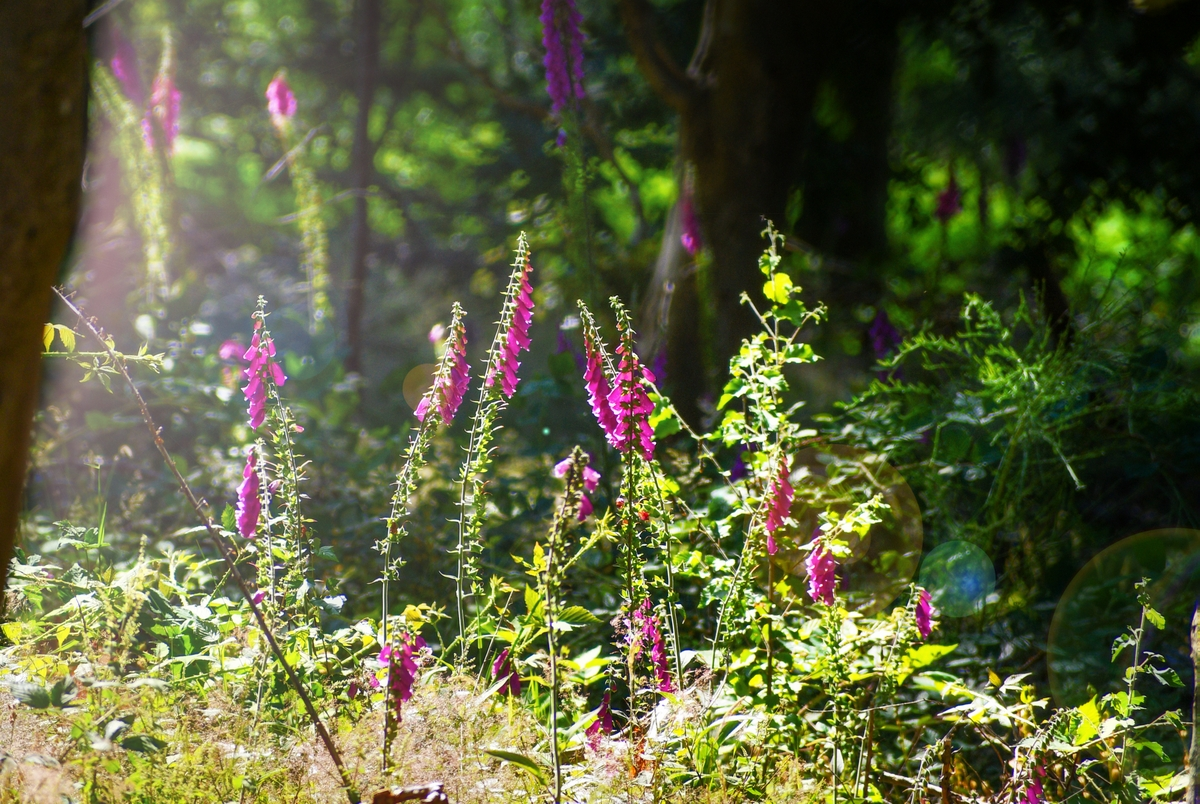 Foxgloves in the woods of Burwash, East Sussex © French Moments