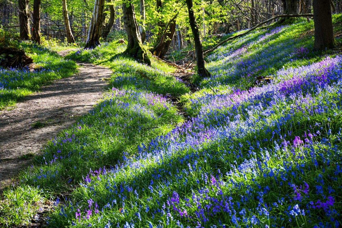 Bluebells, Burwash East Sussex © French Moments