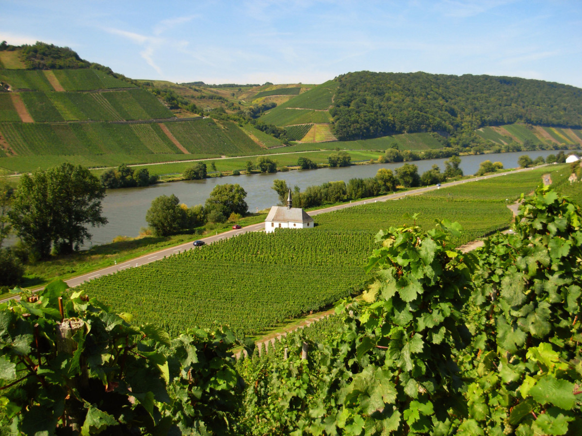 Moseltal vineyard in Neumagen © Moltodor - license [CC BY-SA 3.0] from Wikimedia Commons