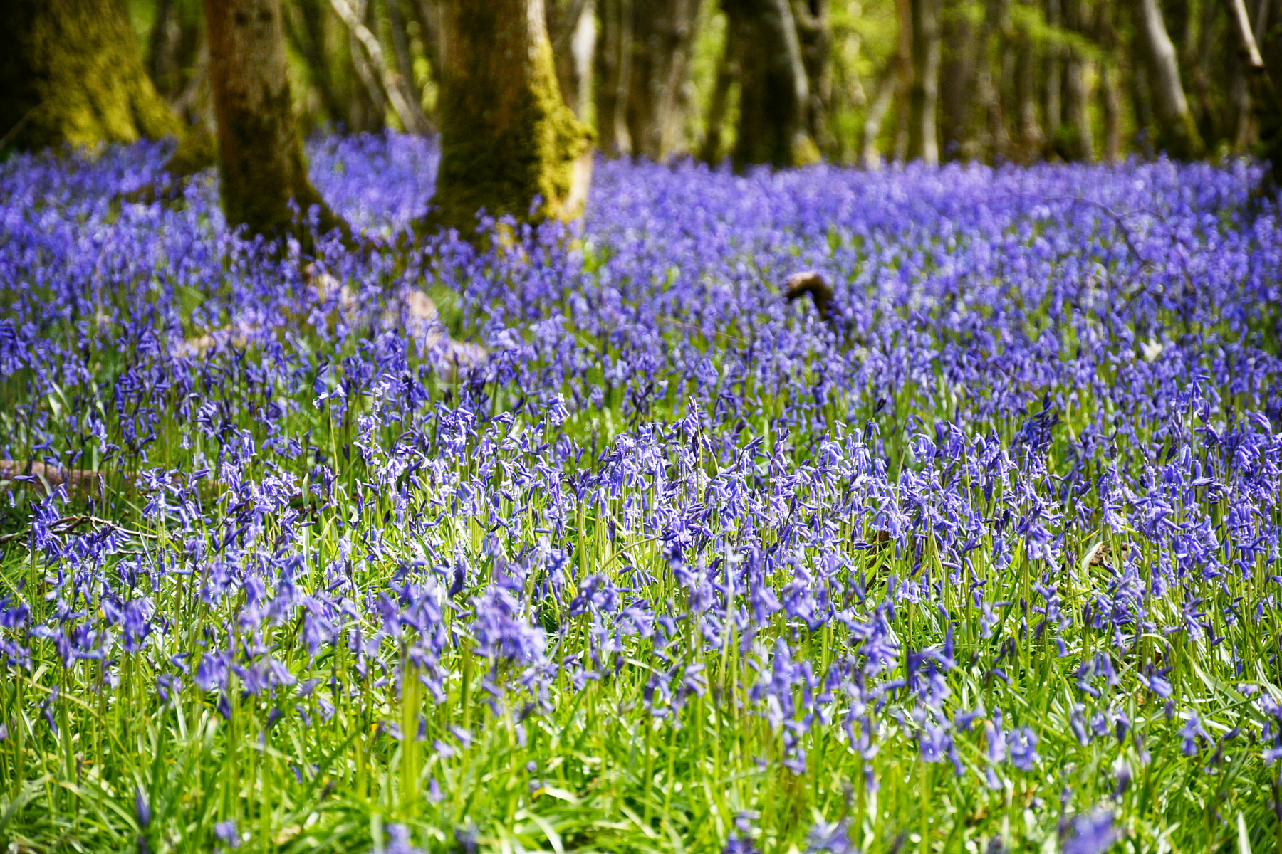 Bluebells, East Sussex © French Moments
