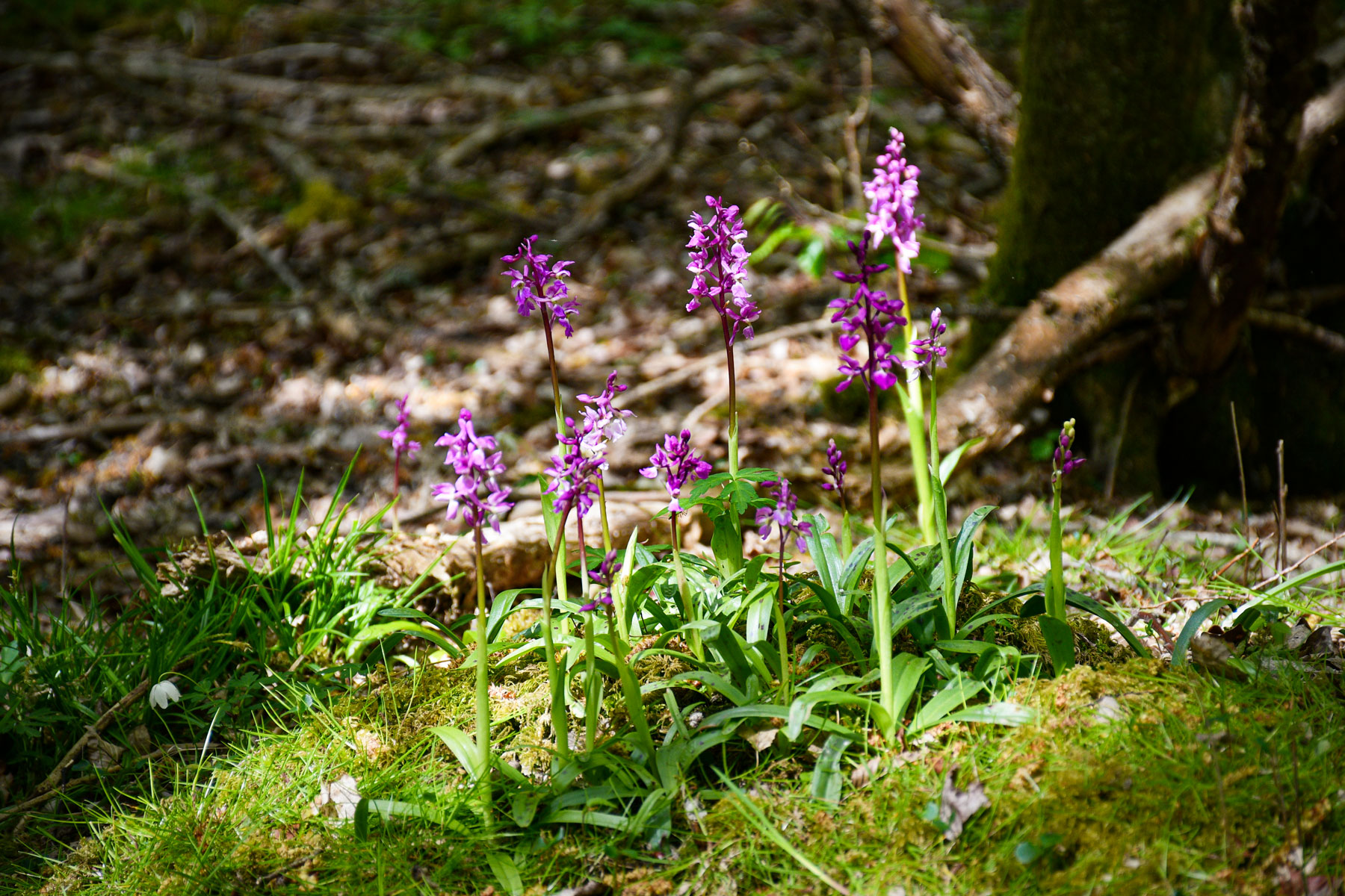 Purple Orchids, East Sussex © French Moments